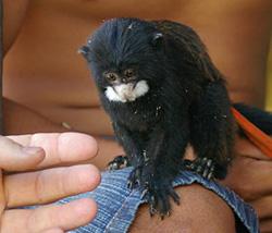 Small monkey perched on someone's knee