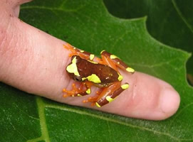 Small orange and yellow frog perched on a finger