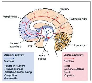 Brain anatomy graphic