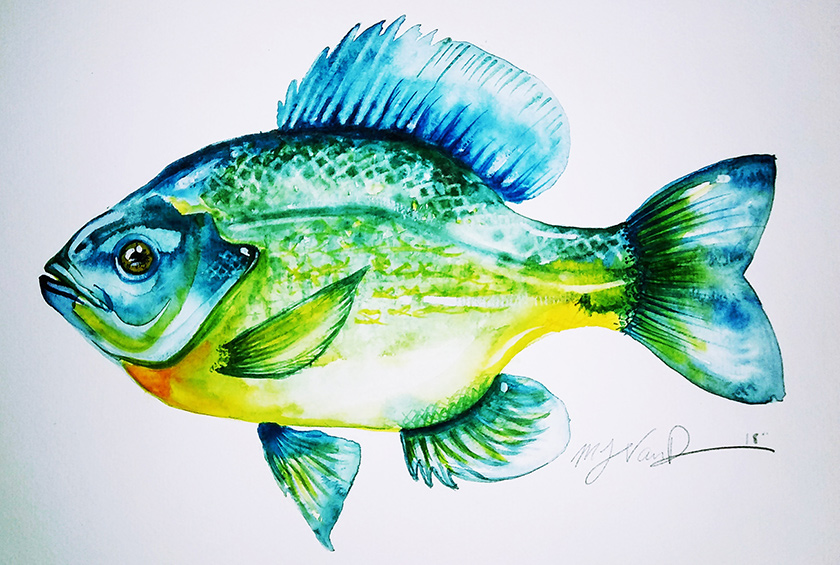 Vanduren Bluegill artwork