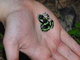 Person holding a green-and-black frog
