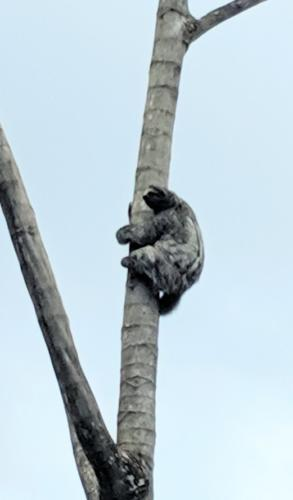 Sloth near La Fortuna